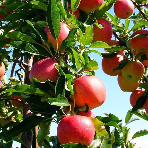 albero del melo